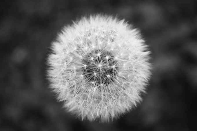black and white flower dandelion minimal